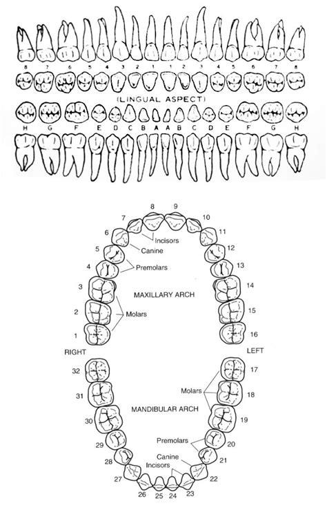 Human teeth diagram | Dental anatomy, Dental hygiene