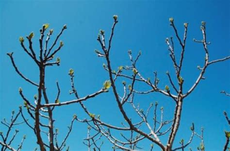 tree with buds identifying trees in winter using buds the adirondack almanack
