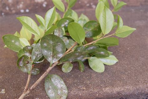 tea scale camellia hiker unwanted hitch clinic plant bugwood leaf leaves