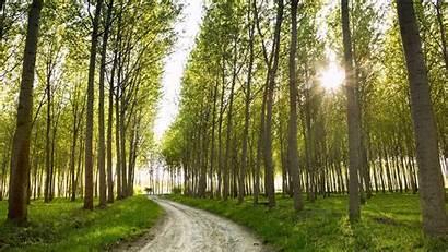 Poplar Hybrid Tree Poplars Wallsdesk Wallpapers Views