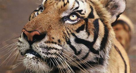 tigre ficha wwf espana