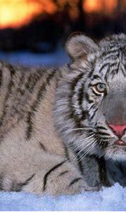 Download Amazing Tiger in Jungle HD Desktop Wallpapers ...