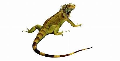 Crawl Animals Iguana Clipart Lizard Transparent Clipground