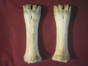 2 Large Cow Leg Bones