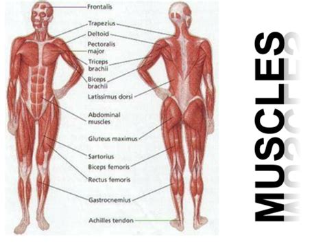 muscles  muscle action  mpgibson teaching resources