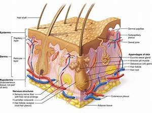 5 1 The Skin Consists Of Two Layers  The Epidermis And
