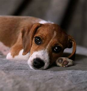 Beagle Terrier Mix Puppies Picture - Dog Breeders Guide