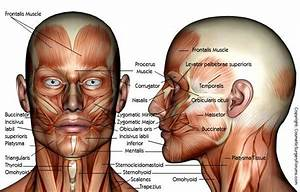 Muscle Anatomy Of The Face And Neck