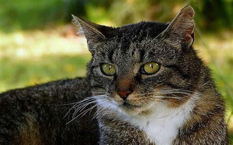 Cat Conjunctivitis  Best Pet Home Remedies