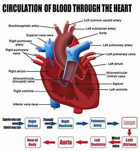 Labelled Figure Of The Circulation Of Blood Through The