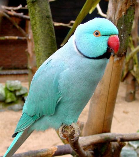 wallpapers blue indian parrots