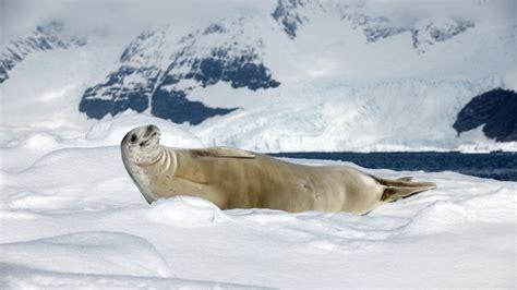 wallpaper crabeater seal sea calf antarctica snow
