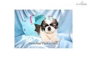 Tiny Teacup Shih Tzu Puppies