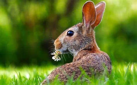 comment cuisiner un lievre comment reconnaître un lièvre d 39 un lapin
