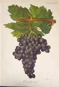 Wine Grapes Illustration