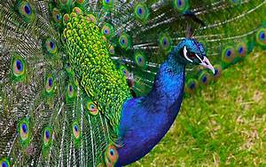 Most Beautiful Peacock HD Wallpapers