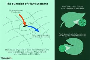 What Is The Function Of Plant Stomata