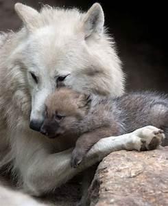 Bébé Loup Blanc : louve et louveteau les plus beaux loups pinterest ~ Farleysfitness.com Idées de Décoration