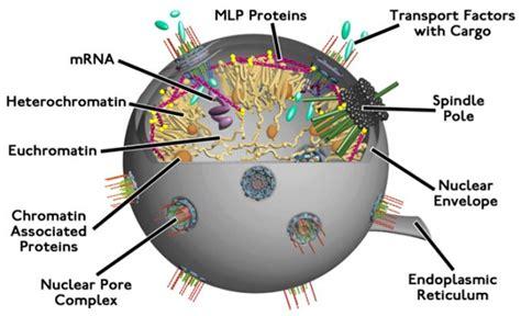 nukleus bentuk jenis  fungsi inti sel