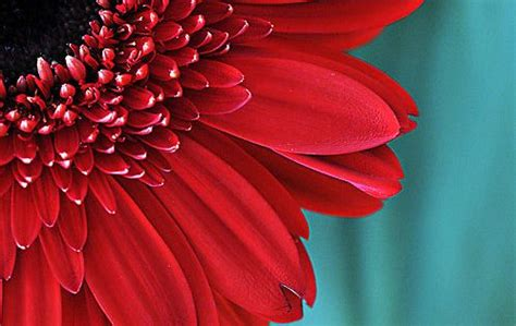 flower photograph red gerbera daisy picture aqua teal