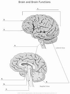 7 Best Images Of Functions Of The Brain Worksheet