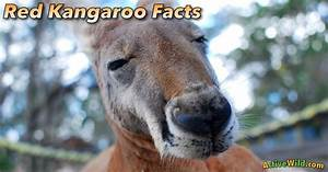 Red Kangaroo Facts For Kids  U0026 Adults  Pictures  Information  U0026 Video