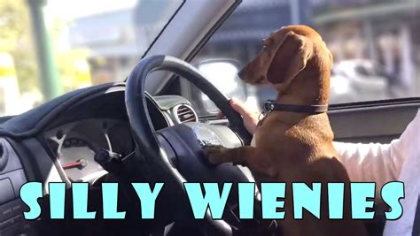 Silly wiener dogs COMPILATION - cute and funny dachshund ...