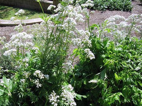Australian Valerianaceae