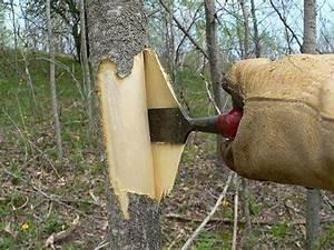 Настойка коры осины при лечении простатита