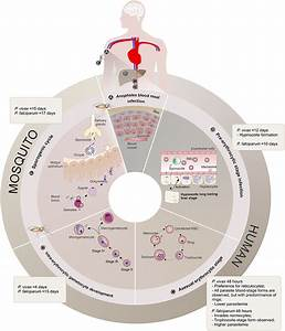 Frontiers | Plasmodium vivax Biology: Insights Provided by ...