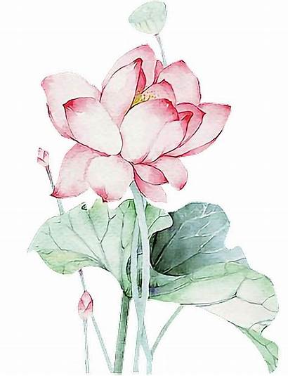 Lotus Watercolor Clipart Flower Transparent Chinese Asian