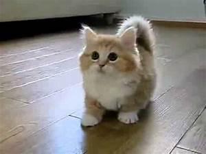 i love munchkin kittens!! i want 1!! | cute - cats ...