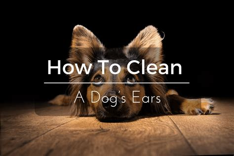 how to clean a s ears how to clean a dog s ears in 5 simple steps 2017