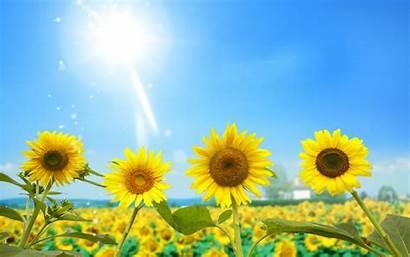 Sun Nature Sunlight Sunflowers Wallpoper Wallpapers Background