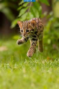 Cute Baby Leopard Cat