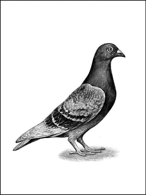 Pigeon | Bird drawings, Pigeon bird, Bird illustration