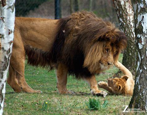 jagt huis ter heide leeuw met welpen nature photographynature photography