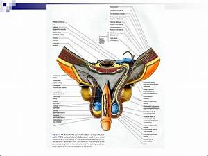 Topography Of Anterolateral Abdominal Wall