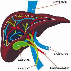 De lever in de stofwisseling (metabolisme) Zo Werkt Het Lichaam