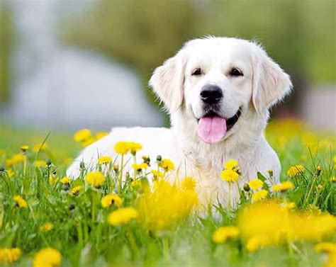 Happy Golden Retriever