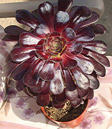 aeonium crassulaceae