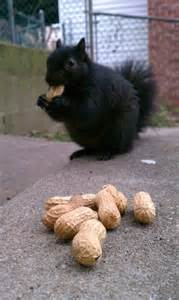 Black Squirrel Nuts