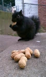Black Squirrel Nuts