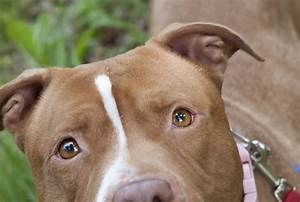 Pitbull Dogs White And Brown