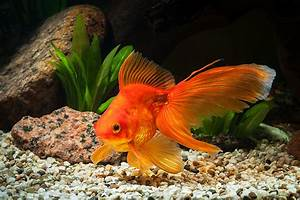 A guide to fancy goldfish - PetSpot