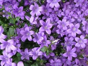 Blumen Für Schattigen Balkon : glockenblumen lila bl tenteppich f r schattige balkone balkon oasebalkon oase ~ Orissabook.com Haus und Dekorationen