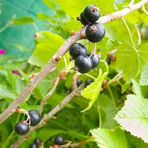 Schwarze Johannisbeere Pflanzen : schwarze johannisbeere schwarze johannisbeere 39 jebyn 39 ~ Lizthompson.info Haus und Dekorationen