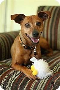 Manchester Terrier/Miniature Pinscher Mix Dog for adoption ...