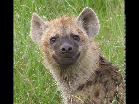 hyena laugh doovi