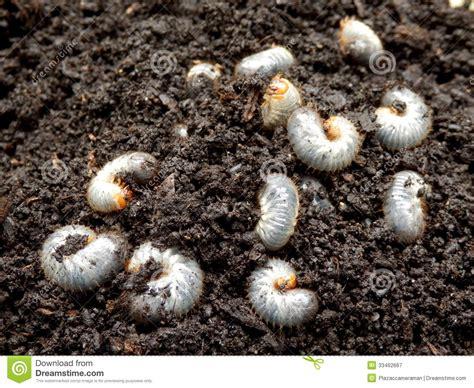 white grub in soil chafer larva phyllophaga royalty free stock photography image 33462667